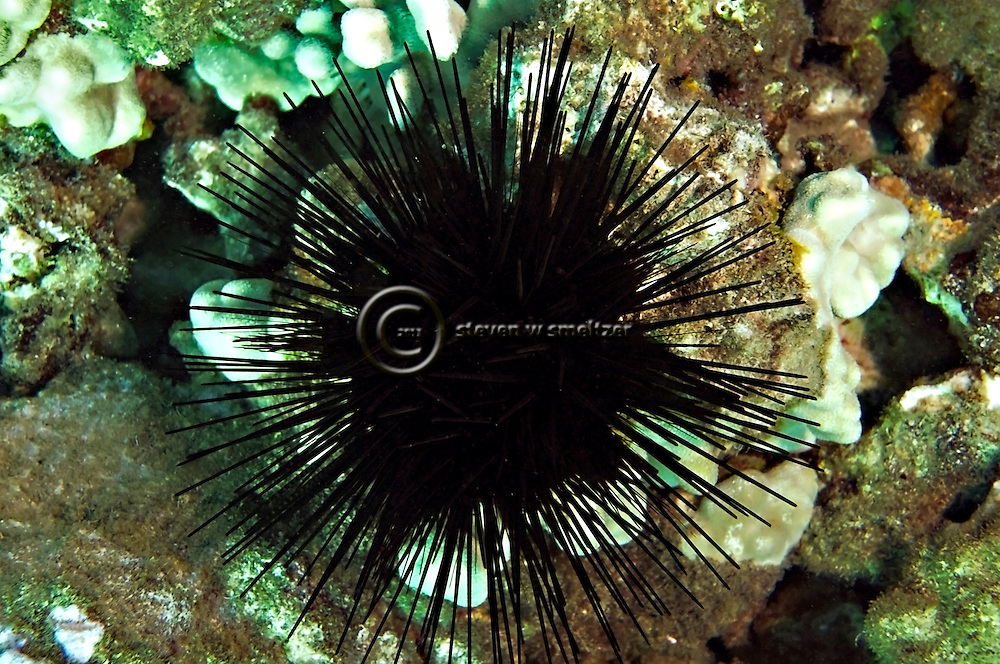 Spiny Sea Urchin, west coast of Maui, Hawaii
