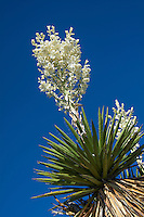 One of the largest yuccas in Western Texas, the giant dagger yucca (Yucca faxoniana) can grow over 20 feet tall. Blooming in April, it can have flower stalks weighing over 70 pounds with a thousand or more flowers! This one was photographed in Big Bend National Park near the Texas/Mexico border.