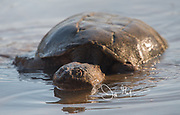 A common snapping turtle emerges on the surface of the water.