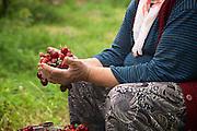 A lady sorts through cherries on a farm in Turkey.