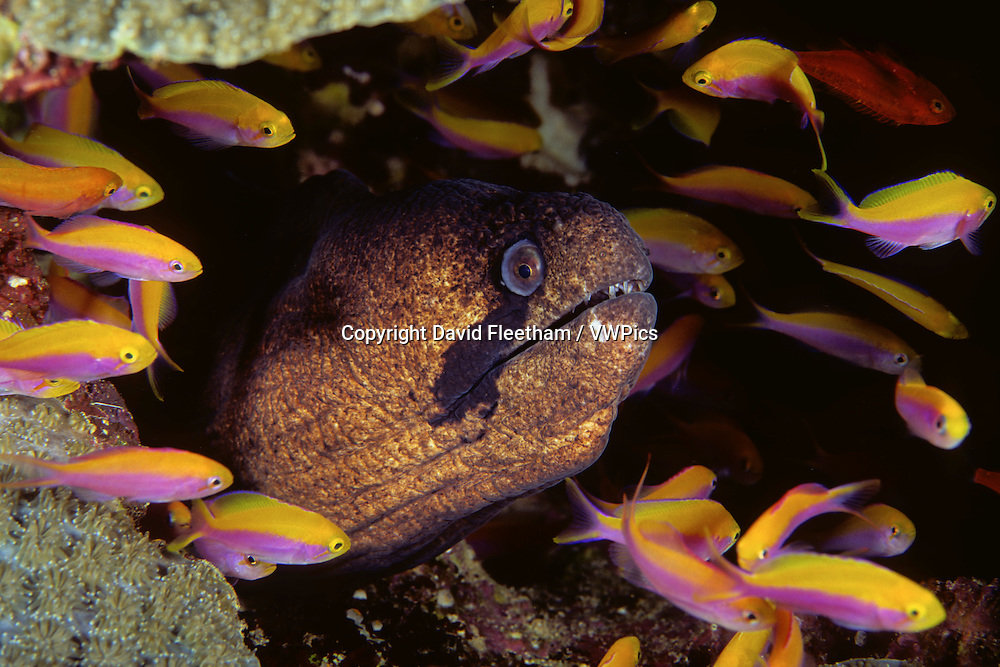 A masked moray eel, Gymnothorax breedeni, is sharing it's coral head with hundreds of anthias, Luzonichthys waitei, Kosrae, Micronesia.