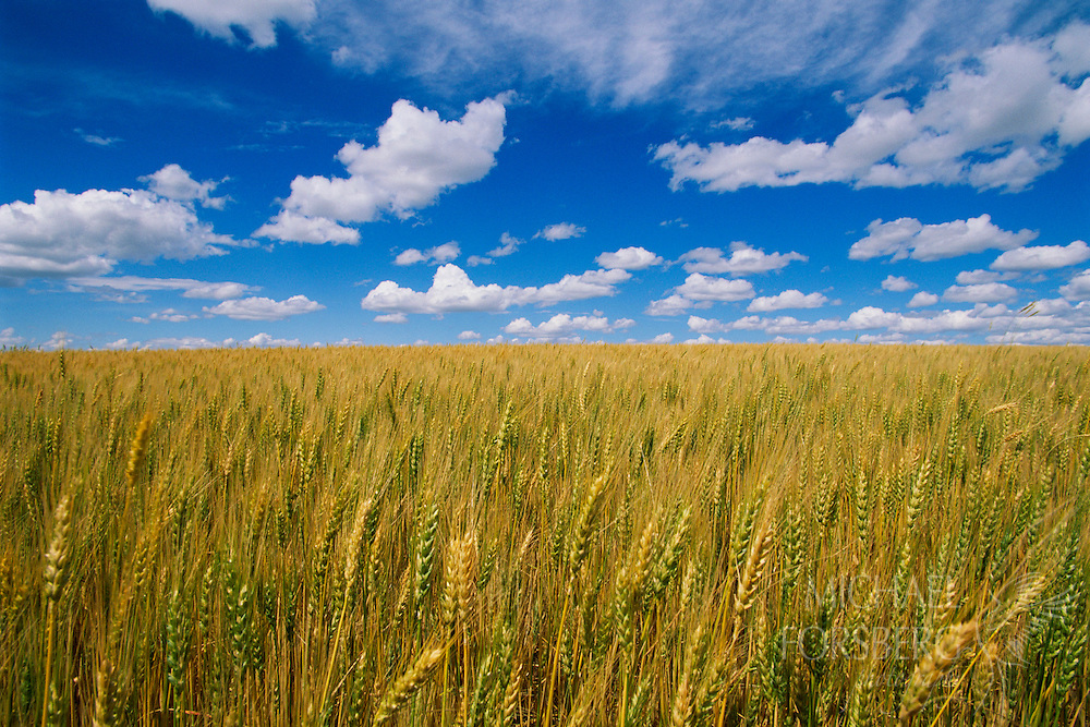 Wheat field and blue sky.