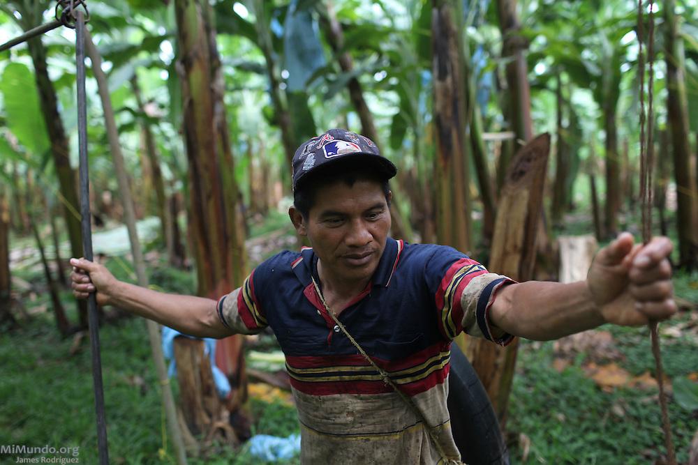 Nestor Santos, member of COOBANA, hauls clusters of bananas on a rail that leads to the processing plant. COOBANA: Finca 51, Changuinola, Bocas del Toro, Panamá. September 3, 2012.