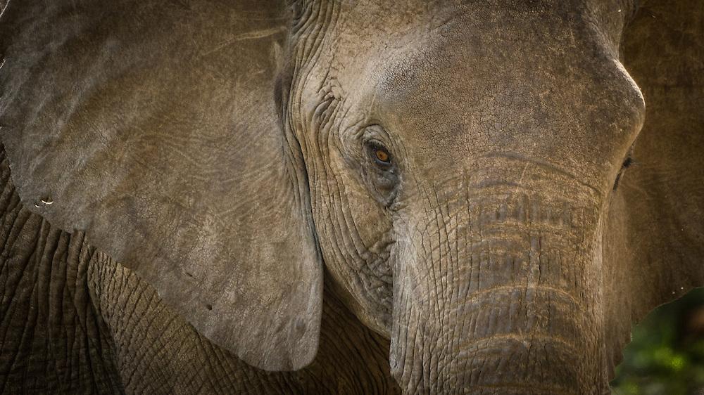 African Bush Elephant (Loxodonta africana