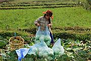 Mar. 13, 2009 -- VANG VIENG, LAOS: A woman harvests cabbage from her fields near Vang Vieng, Laos.  Photo by Jack Kurtz