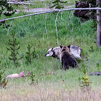 Gray Wolf and Grizzly Bear face off over elk kill! Yellowstone National Park, Wyoming.