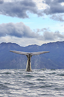A sperm whale waves goodbye before another dive
