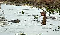 Giant River Otter (Pteronura brasiliensis) baby calls out a a Yacare Caiman approcahes,  The Pantanal, Mato Grosso, Brazil