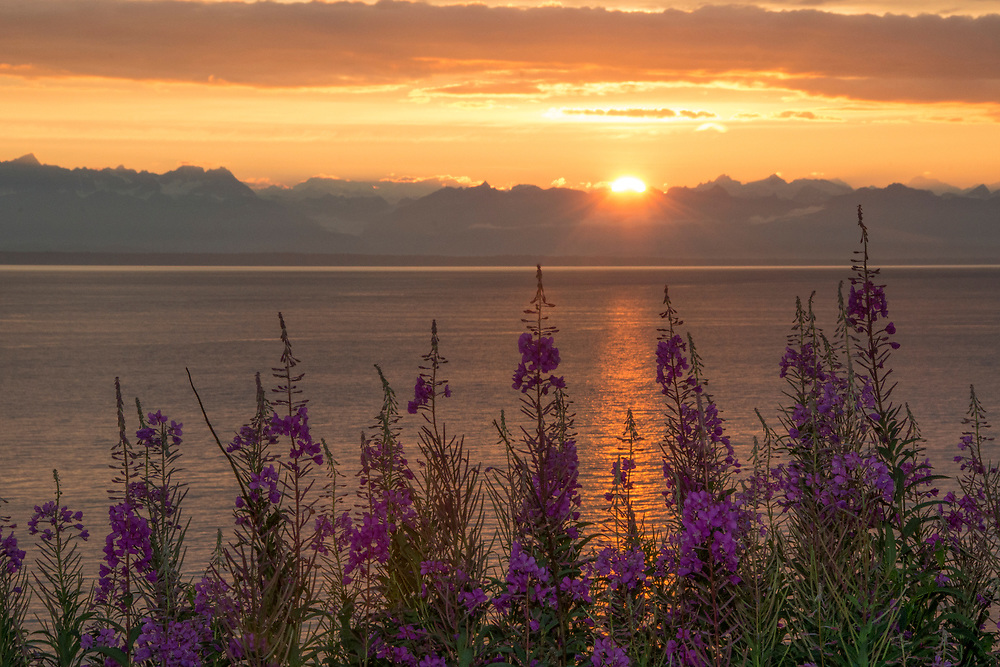 A group of fireweed being lit by the final rays of a setting sun
