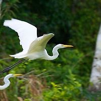 The great egret or common egret is a large egret inhabiting most tropical and warmer temperate areas of the world.  The great egret's diet consists of mainly fish, frogs, small mammals and sometimes small reptiles and insects.