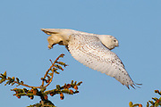 A snowy owl (Nyctea scandiaca) flies from the top of a tree at Damon Point in Ocean Shores, Washington. Snowy owls, which spend the summer in the northern circumpolar region north of 60 degrees latitude, have a typical winter range that includes Alaska, Canada and northern Eurasia. Every several years, for reasons still unexplained, the snowy owls migrate much farther south in an event known as an irruption. During one irruption, a snowy owl was found as far south as the Caribbean. During the 2011-2012 irruption, Ocean Shores on the Washington coast was the winter home for an especially large number of snowy owls.