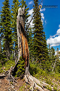 Burnt tree from lightning with new growth in the Flathead National Forest, Montana, USA
