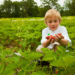 A boy with a hand full of strawberries at Heron Pond Farm in South Hampton, New Hampshire.