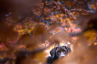 Gallery photo of Chocolate Labrador Retriever hiding in the autumn leaves by fine art photographer Jeffrey Sauers of Commercial Photographics