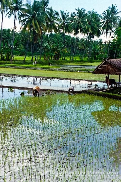 Nusa Tenggara, North Lomboks. Planting of rice north of Senggigi.