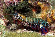 peacock mantis shrimp, Odontodactylus scyllarus, Richilieu Rock, Surin Islands, Thailand ( Andaman Sea, Indian Ocean )