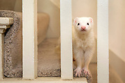 (Ellen Harasimowicz for The Boston Globe) Coconut is one of two ferrets that Norma Harrington has included in her menagerie of elderly, sick, and disabled animals.