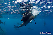 swiping its bill downward and pulling air down from the surface, an Atlantic sailfish, Istiophorus albicans, seizes an individual sardine separated from a bait ball of Spanish sardines (aka gilt sardine, pilchard, or round sardinella ), Sardinella aurita, off Yucatan Peninsula, Mexico ( Caribbean Sea ) #2 in sequence of 4 images
