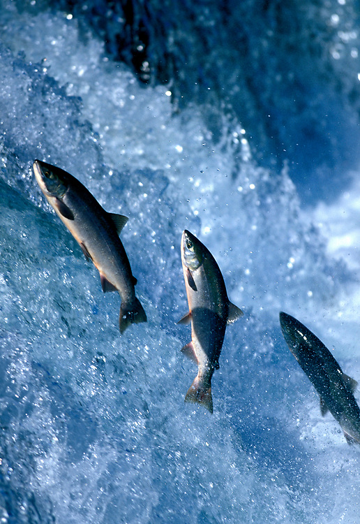 USA, Alaska, Katmai National Park, Sockeye (Red) Salmon (Oncorhynchus nerka) spawning over Brooks Falls