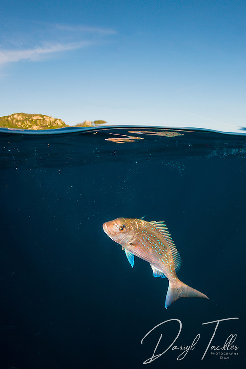 Snapper close to water surface at the Poor Knights Marine Reserve, New Zealand.
