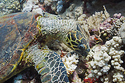 Hawksbill Turtle (Eretmochelys imbricata) feeding on coral reef - Agincourt reef, Great Barrier Reef, Queensland, Australia.