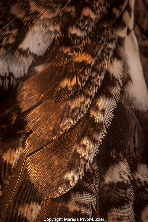 Close-up of screech owl's wing<br /> Otus asio<br /> Controlled conditions<br /> Maresa Pryor