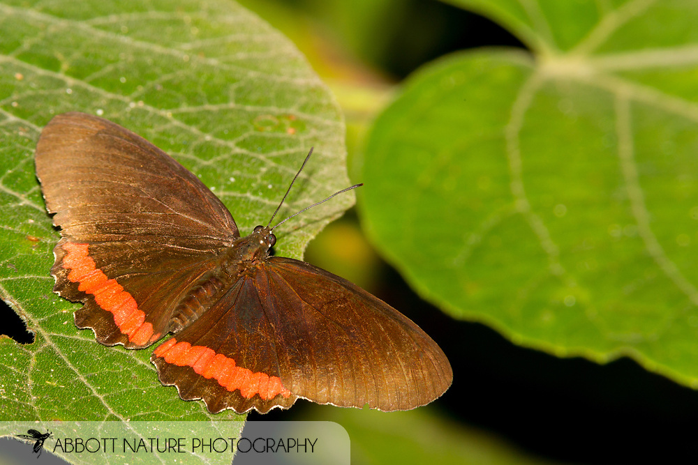 Red Rim or Crimson-banded Black (Biblis hyperia)<br /> Belize: Cayo District<br /> Green Hills Butterfly Ranch<br /> 10-Aug-2015<br /> J.C. Abbott