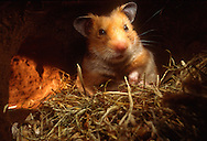 Deutschland, DEU, Cuxhaven: Ein gerade erwachter Goldhamster (Mesocricetus auratus) in seinem Nest aus Heu.| Germany, DEU, Cuxhaven: Golden Hamster (Mesocricetus auratus) just awaken in its subterranean sleeping nest made out of hay. |