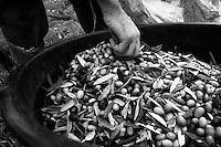 01/12/2010 Acquaviva delle Fonti, bidone in plastica pieno di olive....La raccolta delle olive e la produzione dell'olio extravergine sono un rituale che si protrae da moltissimo tempo in Puglia, questo avviene solitamente nel periodo che va da novembre a dicembre, mentre il lavoro di preparazione e coltivazione si svolge lungo tutto l'arco dell'anno..La raccolta è seguita nella maggior parte dei casi, quando le olive non vengono vendute all'ingrosso, dalla molitura presso gli oleifici per la produzione di quello che da queste parti viene chiamato anche oro verde..