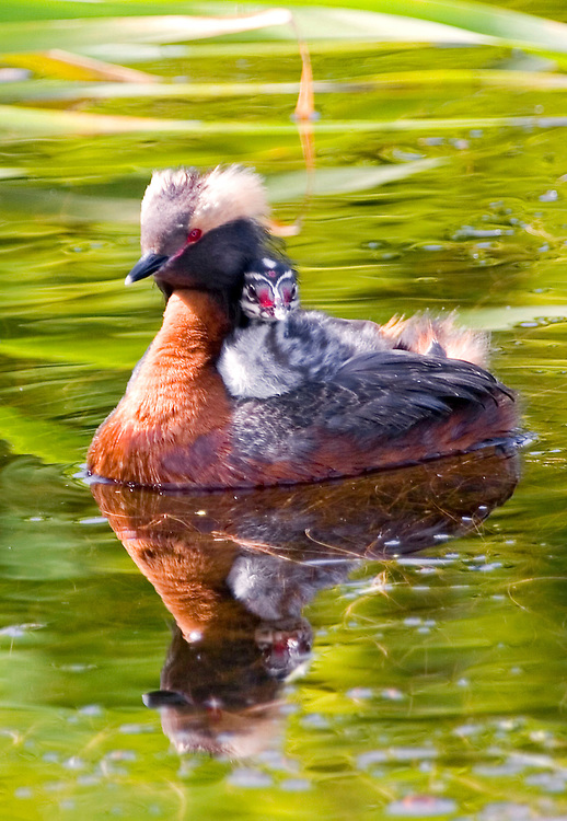 Alaska. Horned grebe (Podiceps auritus) with young riding along in a southcentral marsh, Anchorage.