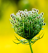 Queen Anne's Lace flower starting to open