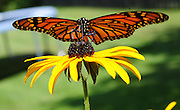 A monarch butterfly searches for nectar from a black-eyed Susan flower. (Sam Lucero photo)