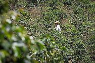 Salento, Quind&iacute;o, Colombia - 05.09.2016        <br /> <br /> Impression of the Colombian coffee region. One of numerous coffee plantation near the village Salento, in the central range of the Colombian Andes Mountains.<br /> <br /> Eindruecke aus der kolumbianische Kaffeeanbauregion. Eine von zahlreichen Kaffeeplantage nahe des Dorfs Salento, in der Zentralkordillere der kolumbianischen Anden.<br /> <br /> Photo: Bjoern Kietzmann