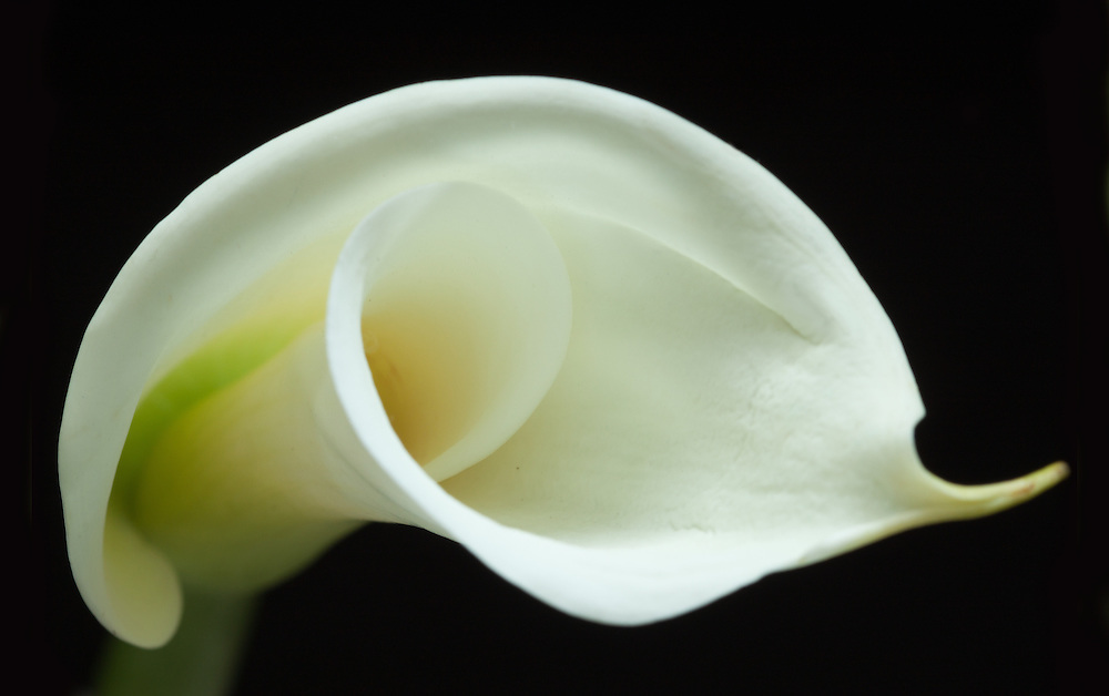 This calla was photographed against black velvet in front of a north facing window. It feels very peaceful to me.
