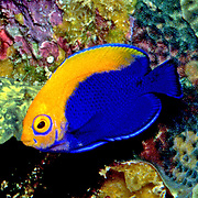 Flameback Angelfish inhabit deep reefs and occasionally walls deeper than 75 ft. in southeastern islands of the Caribbean; picture taken Tobago.