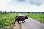 Nederland, Nijmegen, 8-6-2012Een wild rund, gallowayrund, stier, in de uiterwaarden van de rivier de waal. Het dier steekt de weg over om verderop aan de rivieroever te drinken.Foto: Flip Franssen/Hollandse Hoogte
