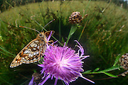 Wachtelweizen-Scheckenfalter (Melitaea athalia)