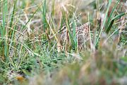 A Magellanic Snipe (Gallinago magellanica magellanica) hides in grass on Monday 5th February 2018.