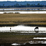 A pony eats marsh grass from the sand flats surrounding Little Horse Island on November 7, 2014.