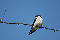 Violet green Swallow Tachycineta thalassina British Columbia Canada