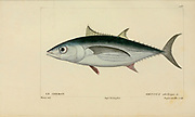 Thynnus from Histoire naturelle des poissons (Natural History of Fish) is a 22-volume treatment of ichthyology published in 1828-1849 by the French savant Georges Cuvier (1769-1832) and his student and successor Achille Valenciennes (1794-1865).