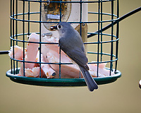 Tufted Titmouse. Image taken with a Fuji X-T3 camera and 200 mm f/2 lens with 1.4x TC