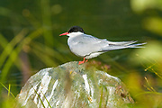 Arctic Tern, Anchorage, Alaska.