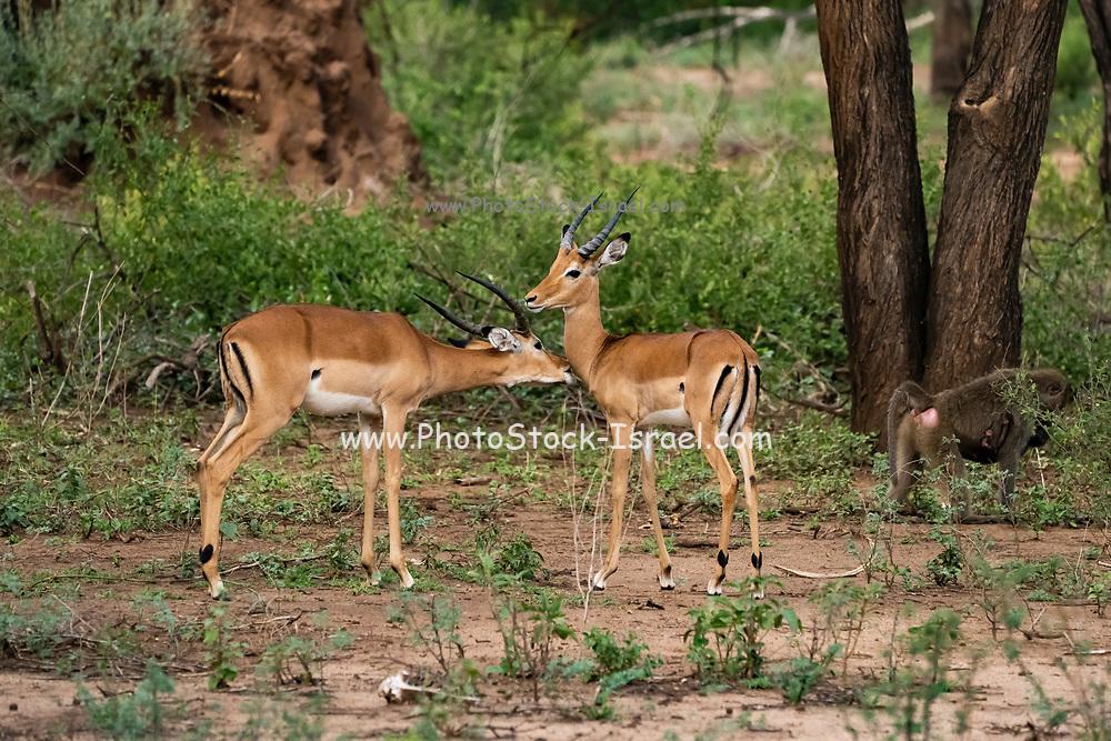 side view of a male and a female impalas (Aepyceros melampus). Photographed at Lake Manyara National Park, Tanzania,