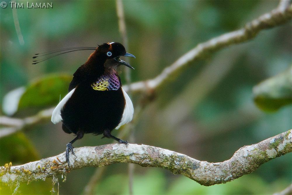 Foja Parotia Bird of Paradise (Parotia berlepschi) male.