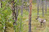 Reindeer, Rangifer tarandus, Greater Laponia rewilding area, Lapland, Norrbotten, Sweden