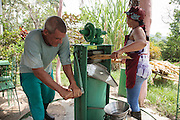 People squeezing sugar cane in a press to make sugar cane juice, an popular drink in Cuba