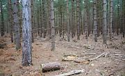 Conifer trees in Rendlesham Forest, Suffolk, England