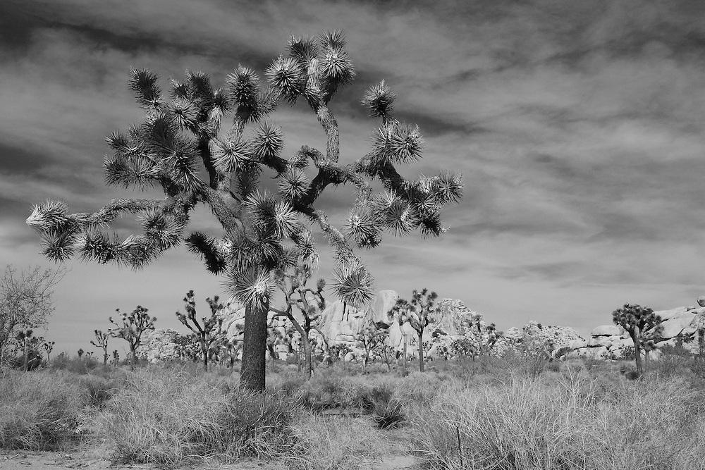 Joshua Tree Grove - Black & White