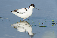 Pied Avocet standing reflected in shallow water, Overberg, Western Cape, South Africa